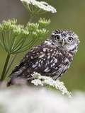 Captive Little Owl (Athene Noctua), United Kingdom, Europe Photographic Print by Ann & Steve Toon