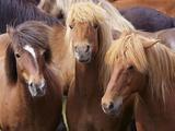 Icelandic Horses, Near Skogar, South Iceland (Sudurland), Iceland, Polar Regions Photographic Print by Patrick Dieudonne