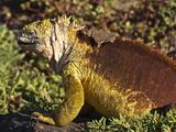Galapagos Land Iguana (Conolophus Subcristatus), Islas Plaza (Plaza Island), Galapagos Islands Photographic Print by Michael DeFreitas