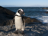 Jackass Penguin (Speniscus Demersus) (African Penguin), Boulders Beach, Cape Town, South Africa Photographic Print by Sergio Pitamitz