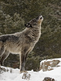 Captive Gray Wolf (Canis Lupus) Howling in the Snow, Near Bozeman, Montana, USA Photographic Print by James Hager