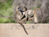 Chacma Baboons (Papio Cynocephalus Ursinus) Playing, Kruger National Park, Mpumalanga, South Africa Photographic Print by Ann & Steve Toon