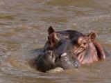 Hippopotamus (Hippopotamus Amphibius), Tsavo East National Park, Kenya, East Africa, Africa Photographic Print by Sergio Pitamitz