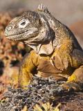 Galapagos Land Iguana (Conolophus Subcristatus), Isla Plaza (Plaza Island), Galapagos Islands Photographic Print by Michael DeFreitas