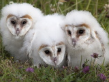 Barn Owl (Tyto Alba) Chicks in Captivity, Cumbria, England, Uk Photographic Print by Ann & Steve Toon