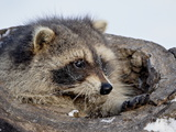 Raccoon (Procyon Lotor) in the Snow, in Captivity, Near Bozeman, Montana, USA. North America Photographic Print by James Hager