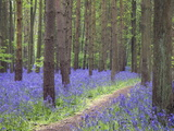 Bluebell Wood, Warwickshire, England, United Kingdom, Europe Photographic Print by Martin Pittaway