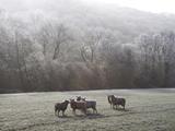 Devon Sheep, Exe Valley, Devon, England, United Kingdom, Europe Photographie par Jeremy Lightfoot