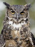 Great Horned Owl (Bubo Virginianus) in Captivity, Wasilla, Alaska, USA Photographic Print by James Hager