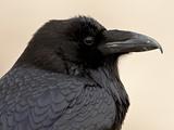 Common Raven (Corvus Corax), Petrified Forest National Park, Arizona Photographie par James Hager