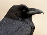 Common Raven (Corvus Corax), Petrified Forest National Park, Arizona Photographic Print by James Hager