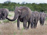 Elephant Herd, Kruger National Park, South Africa, Africa Photographic Print by Ann & Steve Toon