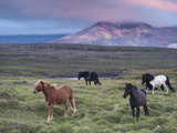 Icelandic Horses, Near Stykkisholmur, Snaefellsness Peninsula, West Iceland, Iceland, Polar Regions Photographic Print by Patrick Dieudonne