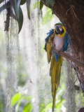 Blue Macaw, El Gallineral Park, San Gil, Colombia, South America Photographic Print by Christian Kober