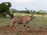 Oryx (Oryx Gazella), Tsavo East National Park, Kenya, East Africa, Africa Photographic Print by Sergio Pitamitz