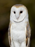 Barn Owl (Tyto Alba) in Captivity, Arizona Sonora Desert Museum, Tucson, Arizona, USA Photographic Print by James Hager