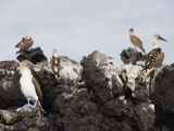 Blue Footed Boobies (Sula Nebouxi), the Tintoreras, Isla Isabela, Galapagos Islands, Ecuador Photographie par Christian Kober