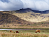Highland Cattle, Ben More in the Distance, Isle of Mull, Scotland, United Kingdom, Europe Photographic Print by Patrick Dieudonne