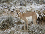 Pronghorn (Antilocapra Americana) in the Snow, Grand Teton National Park, Wyoming, USA Photographic Print by James Hager