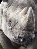 Black Rhino (Diceros Bicornis), Captive, Native to Africa Impresso fotogrfica por Ann & Steve Toon