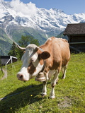 Jungfrau Massif and Cow Near Murren, Jungfrau Region, Switzerland, Europe Photographic Print by Michael DeFreitas
