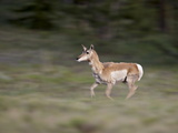 Female Pronghorn (Antilocapra Americana) Running, Park County, Colorado, USA Photographic Print by James Hager