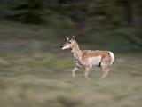 Female Pronghorn (Antilocapra Americana) Running, Park County, Colorado, USA Photographic Print by James Hager
