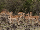 Impala (Aepyceros Melampus), Masai Mara, Kenya, East Africa, Africa Photographic Print by Sergio Pitamitz