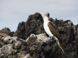 Blue Footed Boobies (Sula Nebouxi), the Tintoreras, Isla Isabela, Galapagos Islands, Ecuador Reproduction photographique par Christian Kober
