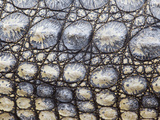Close-Up of Nile Crocodile (Crocodylus Niloticus), Kruger National Park, South Africa, Africa Photographic Print by Ann & Steve Toon