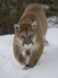 Mountain Lion (Cougar) (Felis Concolor) in Snow in Captivity, Near Bozeman, Montana Lámina fotográfica por James Hager