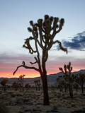 Joshua Tree at Sunset, Joshua Tree National Park, California Photographic Print by James Hager