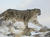 Snow Leopard (Uncia Uncia), in Captivity, Near Bozeman, Montana, USA Lámina fotográfica por James Hager