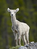 Stone Sheep (Ovis Dalli Stonei) Lamb, Muncho Lake Provincial Park, British Columbia, Canada Photographic Print by James Hager