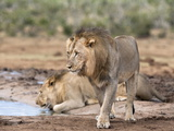 Male Lions Panthera Leo), Addo National Park, Eastern Cape, South Africa, Africa Photographic Print by Ann & Steve Toon