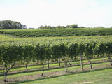 Vineyard of Winery, the Hamptons, Long Island, New York, United States of America, North America Photographic Print by Wendy Connett