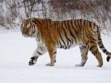 Captive Siberian Tiger (Panthera Tigris Altaica) in the Snow, Near Bozeman, Montana, USA Photographic Print by James Hager