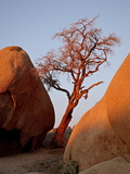 Bare Tree Among Boulders at Sunrise, Joshua Tree National Park, California Photographic Print by James Hager
