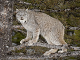 Canadian Lynx (Lynx Canadensis) in a Tree, in Captivity, Near Bozeman, Montana, USA Lámina fotográfica por James Hager