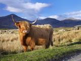 Highland Cattle, Isle of Mull, Inner Hebrides, Scotland, Uk Photographic Print by Patrick Dieudonne