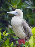 Red Footed Booby (Sula Sula), Isla Genovesa, Galapagos Islands, UNESCO World Heritage Site, Ecuador Reproduction photographique par Christian Kober