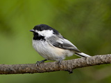Black-Capped Chickadee (Poecile Atricapillus), Wasilla, Alaska, USA Photographic Print by James Hager