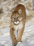 Mountain Lion (Cougar) (Felis Concolor) in the Snow, in Captivity, Near Bozeman, Montana, USA Lámina fotográfica por James Hager