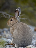 Snowshoe Hare (Lepus Americanus), Banff National Park, Alberta, Canada, North America Photographic Print by James Hager
