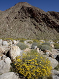 Brittlebush (Encilia Farinosa) in Borrego Palm Canyon, Anza-Borrego Desert State Park, California Photographic Print by James Hager