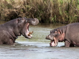 Hippo (Hippopotamus Amphibius), Fighting, Kruger National Park, Mpumalanga, South Africa, Africa Photographic Print by Ann & Steve Toon