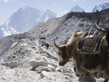 Yak on a Trail, Solu Khumbu Everest Region, Sagarmatha National Park, Himalayas, Nepal, Asia Photographic Print by Christian Kober
