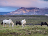 Icelandic Horses, Near Stykkisholmur, Snaefellsness Peninsula, West Iceland, Iceland, Polar Regions Photographic Print by Patrick Dieudonne