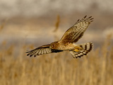 Female Northern Harrier (Circus Cyaneus) in Flight While Hunting, Farmington Bay, Utah, USA Photographic Print by James Hager