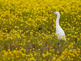 Snowy Egret (Egretta Thula) Among Goldfields, San Jacinto Wildlife Area, California Photographic Print by James Hager